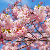 Sakura. cherry blossom in springtime over blue sky — Stock Photo
