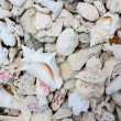 Conch shells and pebbles. background — Stock Photo
