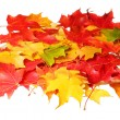 Maple leaves isolated on white background. Colored autumn leafs. Fall — Stock Photo