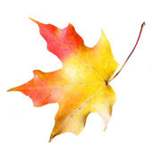 Maple leaf isolated on white background. Colored Fall — Stock Photo