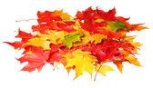 枫叶上孤立的白色背景。彩色的秋天树叶。秋天 — 图库照片