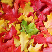 Autumn Maple Leaves background. Colored leafs. Fall — Stock Photo