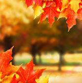 Herfst bladeren. gekleurde maple leafs. Val — Stockfoto
