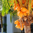 Bunch of yellow coconut at tropical palm tree — Stock Photo