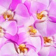 Pink Orchid Flowers background. Beautiful bouquet. Closeup — Stock Photo