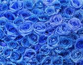 Blue roses background — Stock Photo