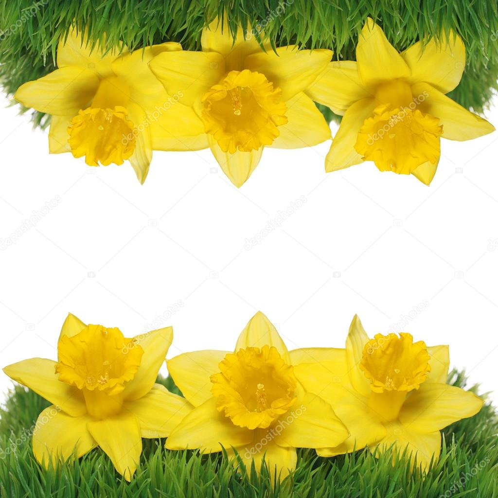 bordure de fleurs printemps narcisse jonquilles jaunes sur l 39 herbe verte photographie guzel. Black Bedroom Furniture Sets. Home Design Ideas