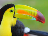 Toucan. Keel Billed Toucan, from Central America. Macro — Stock Photo