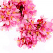 Sakura isolated on white. cherry blossom. branch of beautiful pi — Stock Photo
