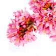 Sakura isolated on white. cherry blossom. branch of beautiful pi — Stock Photo #43344325