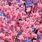 Sakura. Cherry Blossom in Springtime, Beautiful Pink Flowers — Stock fotografie