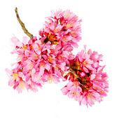 Sakura isolated on white. cherry blossom. branch of beautiful pi — Stock Photo