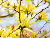 Yellow Magnolia Tree Blossoms in Springtime — 图库照片