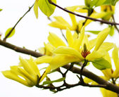 Yellow Magnolia Tree Blossoms in Springtime — Stock Photo