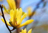 желтый магнолия дерево цветет весной — Стоковое фото