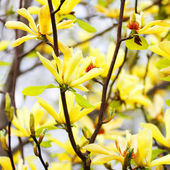 Yellow Magnolia Tree Blossoms in Springtime — Stock fotografie