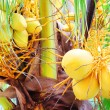 Bunch of Yellow Coconut at Tropical Palm Tree — Stock Photo #43652751