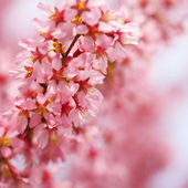 Cherry Blossom. Sakura in Springtime. Beautiful Pink Flowers — Stock Photo