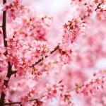 Cherry Blossom. Sakura in Springtime. Beautiful Pink Flowers — Stock Photo #44567561