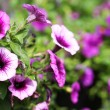 Petunia Trailing. Purple Flowers in the Garden. Springtime — Stock Photo #44567853