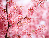 Cherry Blossom. Sakura in Springtime. Beautiful Pink Flowers — Stock Photo