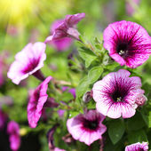 Petunia Trailing. Purple Flowers in the Garden. Springtime — Stock Photo