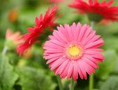 Gerbera Daisy. Hot Pink Flowers in the Garden — Stock Photo
