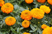 French Marigold. Yellow Flowers in the Garden — Stock Photo