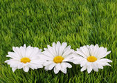 Camomile Flowers on green grass — Stock Photo