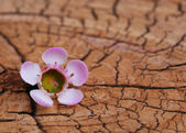 Pink Tiny Flower on Old Wooden Background — Stock Photo