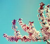 Cherry Blossom. Sakura and Sky. Beautiful Pink Flowers in Spring — Stock Photo