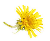 Yellow Dandelion Flower Isolated on White. Taraxacum officinale. — Stock Photo