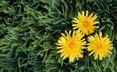 Yellow Dandelion Flowers on Green Grass. Taraxacum officinale. — Stock Photo