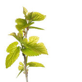 New Green Leaves on the Branch isolated on white. Spring — Stock Photo