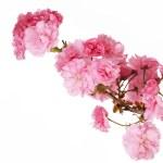 Sakura. Cherry Blossom isolated on white, Beautiful Pink Flowers — Stock Photo