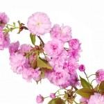 Sakura. Cherry Blossom isolated on white, Beautiful Pink Flowers — Stock Photo #45475397