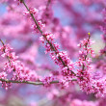 Purple Spring Blossom. Cercis Canadensis or Eastern Redbud Flowe — Stock Photo