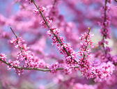 Purple Spring Blossom. Cercis Canadensis or Eastern Redbud Flowe — Stock Photo
