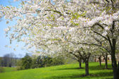 Tree with White Spring Blossoms of Cherry in the Garden. Sunny D — Stock Photo