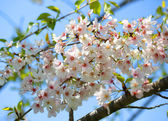 White Spring Blossoms of Cherry. Flowers Outdoor — Stock Photo
