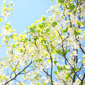 Spring Blossom of Bird Cherry. White Flowers Outdoor — Stock Photo