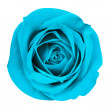 Turquoise Rose isolated on white. Closeup — Stock Photo #48653759
