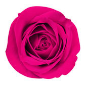 Hot Pink Rose isolated on white. Closeup — Stock Photo