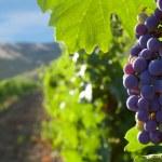 Vineyards — Stock Photo #12249733