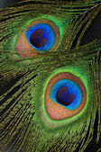 Peacock feathers close up — Stock Photo