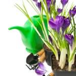 Crocuses in pots and gardening tools — Stock Photo #21911637