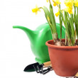 Daffodils and gardening tools — Stock Photo