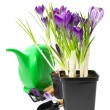 Crocuses in a pot with garden tools — Stock Photo