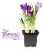 Crocuses in a pot over white — Stock Photo