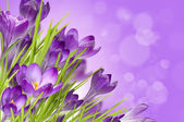 Floral background with crocuses — Stock Photo